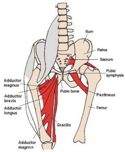 adductor muscles1 247x300 Functional Anatomy Part 4  Medial Thigh Muscles